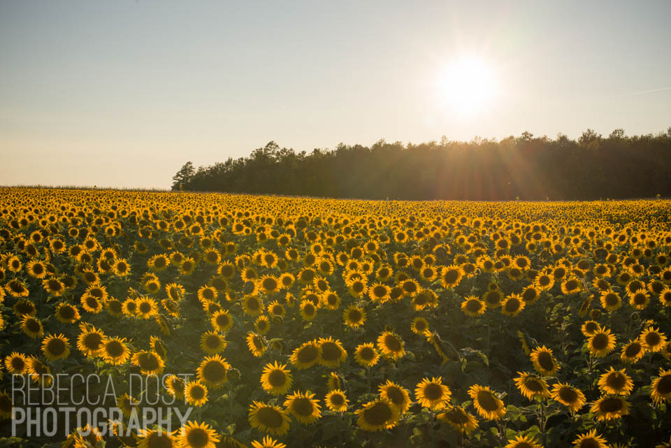 Rebecca Dost Photography: Sunflower Fields Forever