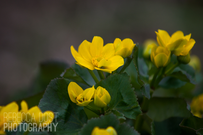 yellows   rdprints