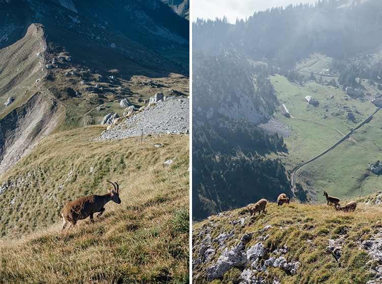 switzerland travel mount pilatus goats