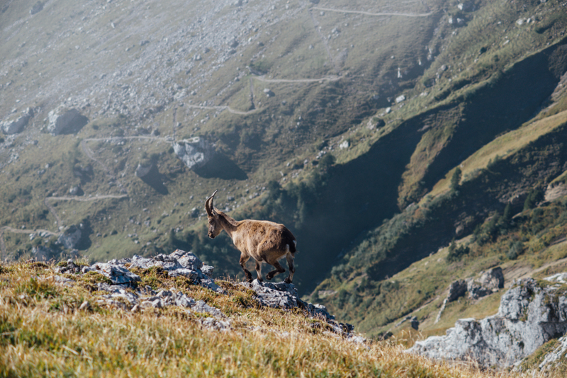 switzerland travel mount pilatus goat